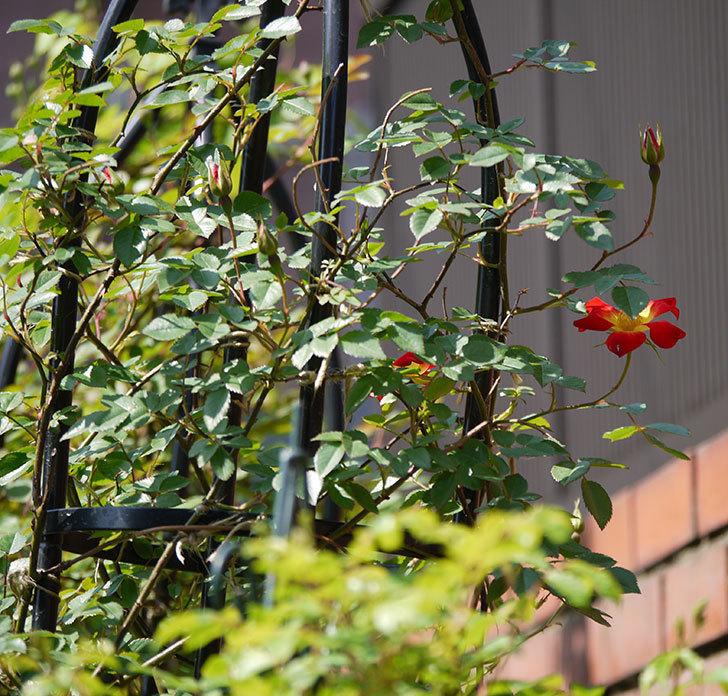 カクテル(ツルバラ)の花が咲きだした。2018年-2.jpg