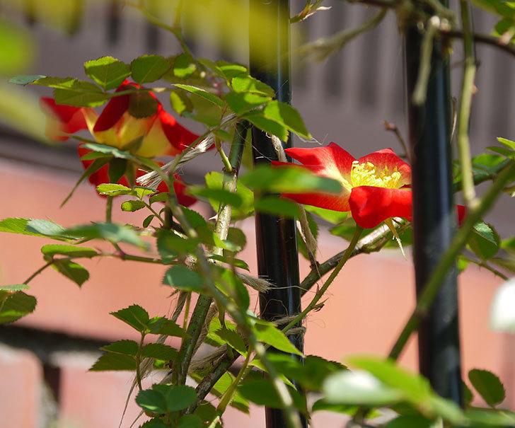 カクテル(ツルバラ)の花が咲きだした。2018年-3.jpg