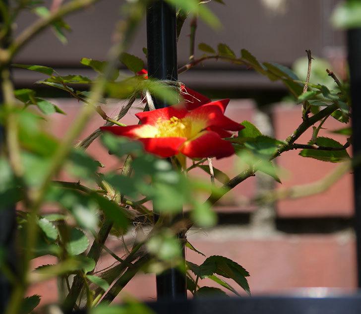 カクテル(ツルバラ)の花が咲きだした。2018年-4.jpg