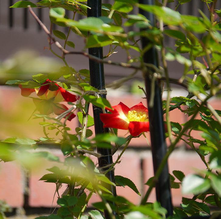 カクテル(ツルバラ)の花が咲きだした。2018年-5.jpg