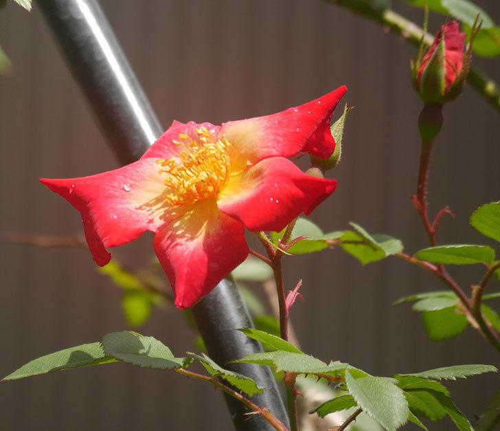 カクテル(ツルバラ)の花が咲きだした。2019年-1.jpg