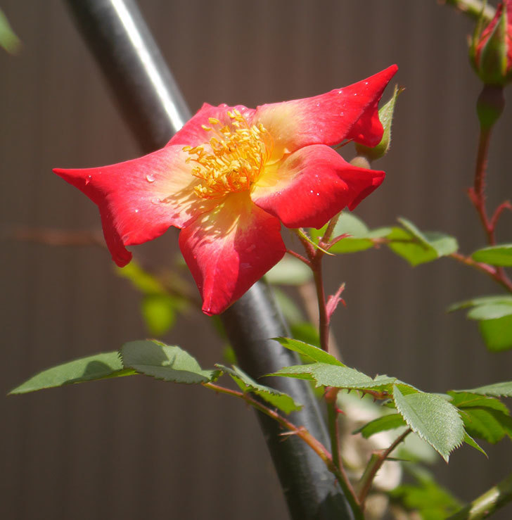カクテル(ツルバラ)の花が咲きだした。2019年-2.jpg