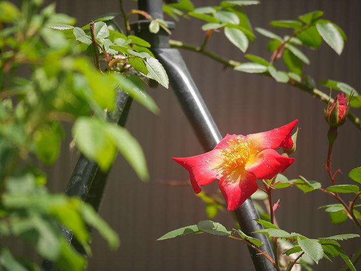 カクテル(ツルバラ)の花が咲きだした。2019年-3.jpg