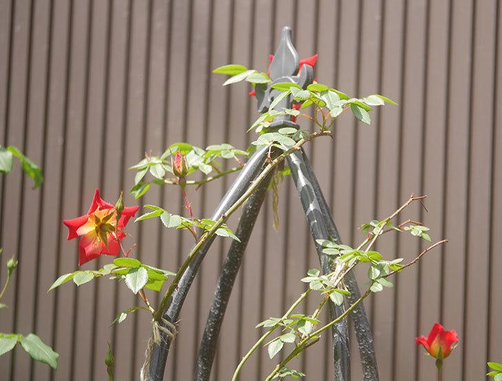 カクテル(ツルバラ)の花が咲きだした。2019年-4.jpg