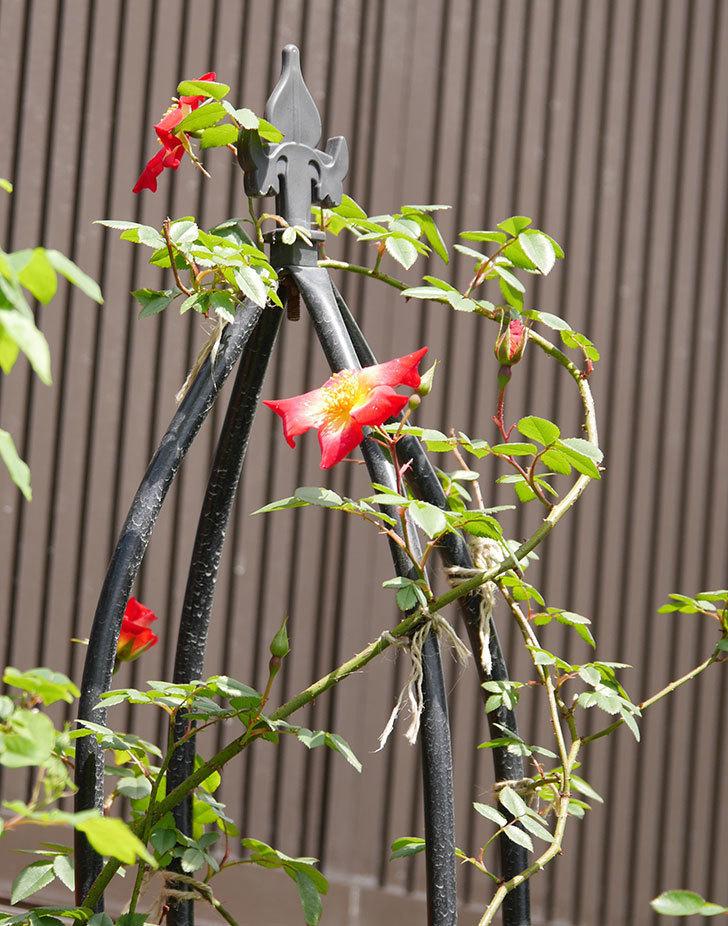 カクテル(ツルバラ)の花が咲きだした。2019年-5.jpg