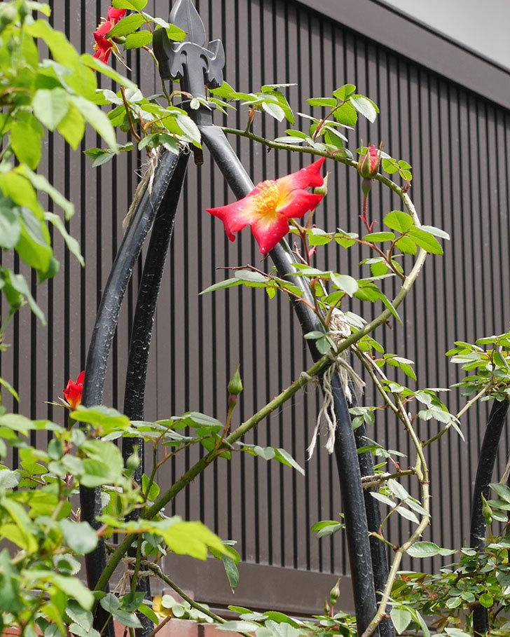 カクテル(ツルバラ)の花が咲きだした。2019年-7.jpg