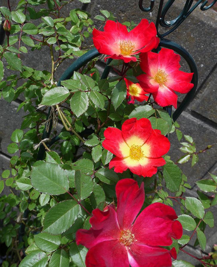 カクテル(ツルバラ)の花が増えてきた。2017年-1.jpg
