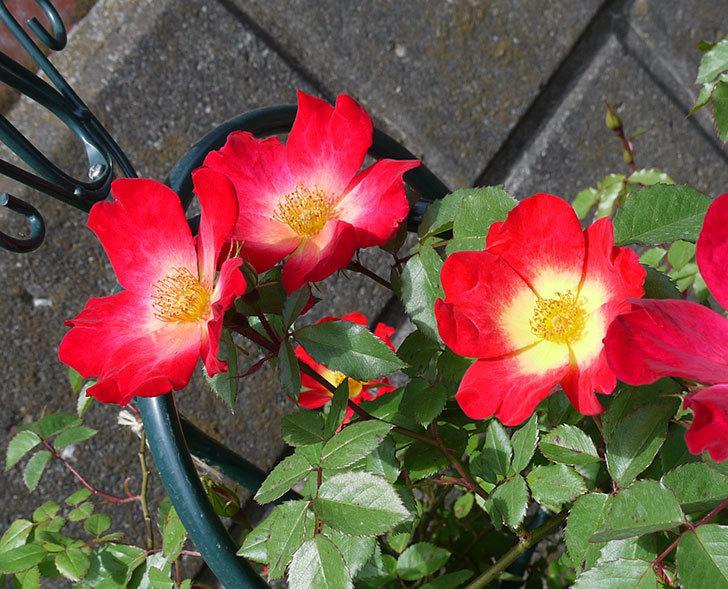 カクテル(ツルバラ)の花が増えてきた。2017年-2.jpg