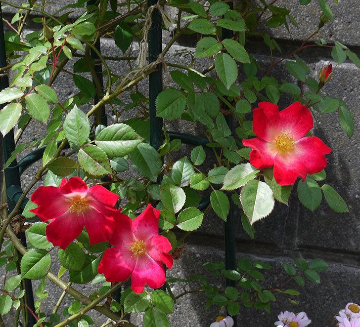 カクテル(ツルバラ)の花が増えてきた。2017年-3.jpg