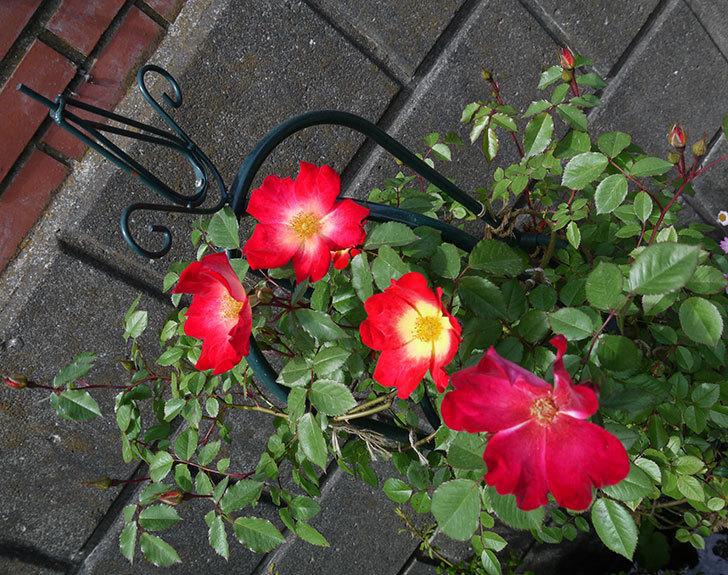 カクテル(ツルバラ)の花が増えてきた。2017年-4.jpg