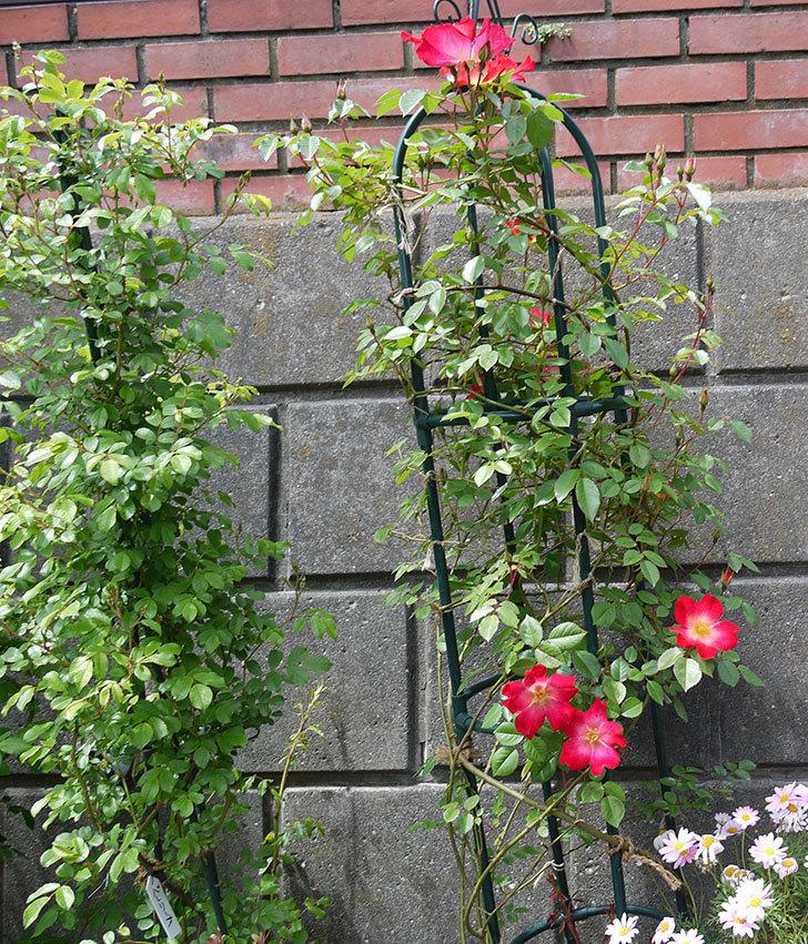 カクテル(ツルバラ)の花が増えてきた。2017年-6.jpg