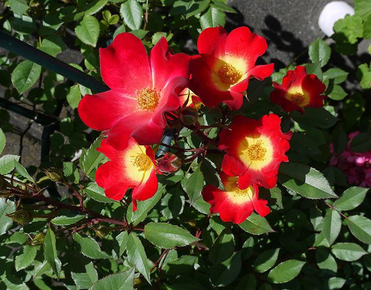 カクテル(ツルバラ)の花が増えてきて、また良い感じになった。2017年-1.jpg