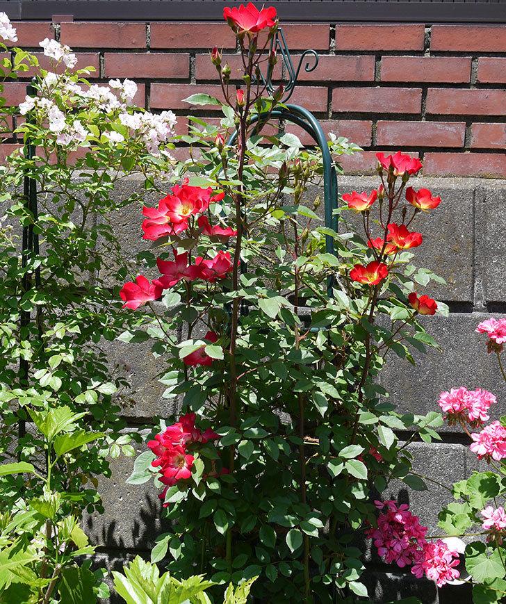 カクテル(ツルバラ)の花が増えてきて、また良い感じになった。2017年-2.jpg