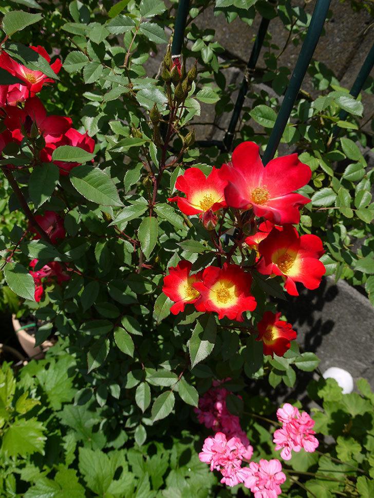 カクテル(ツルバラ)の花が増えてきて、また良い感じになった。2017年-4.jpg