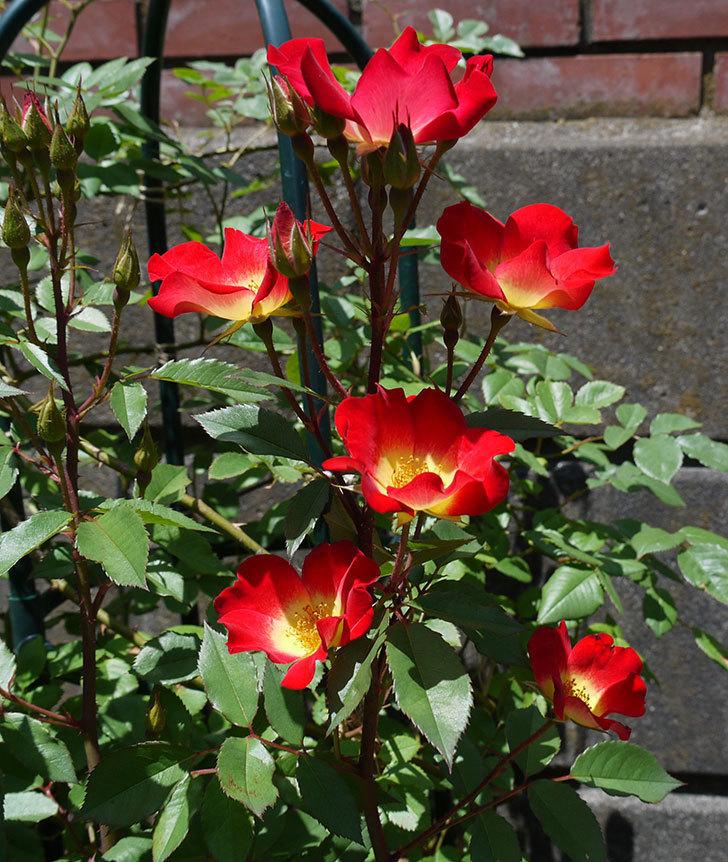 カクテル(ツルバラ)の花が増えてきて、また良い感じになった。2017年-5.jpg
