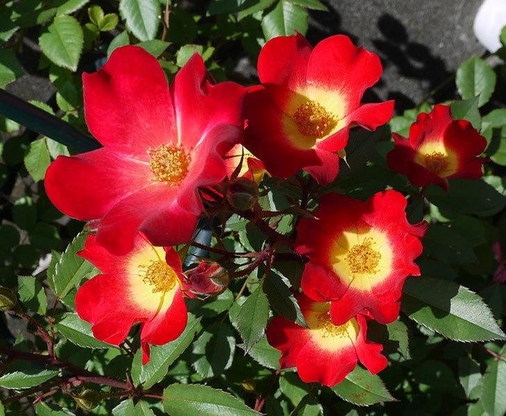 カクテル(ツルバラ)の花が増えてきて、また良い感じになった。2017年-6.jpg