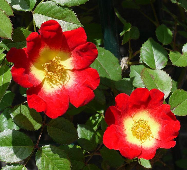 カクテル(ツルバラ)の花が少し増えた。2017年-2.jpg