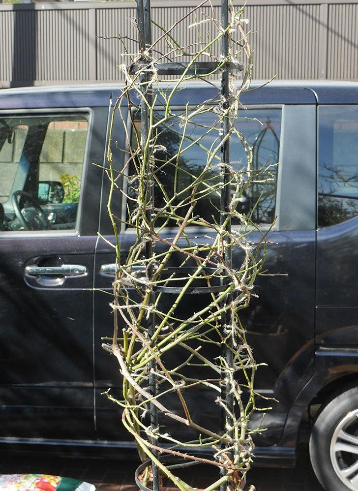 カクテル(ツルバラ)の鉢植えをオベリスクに誘引した。2019年-1.jpg