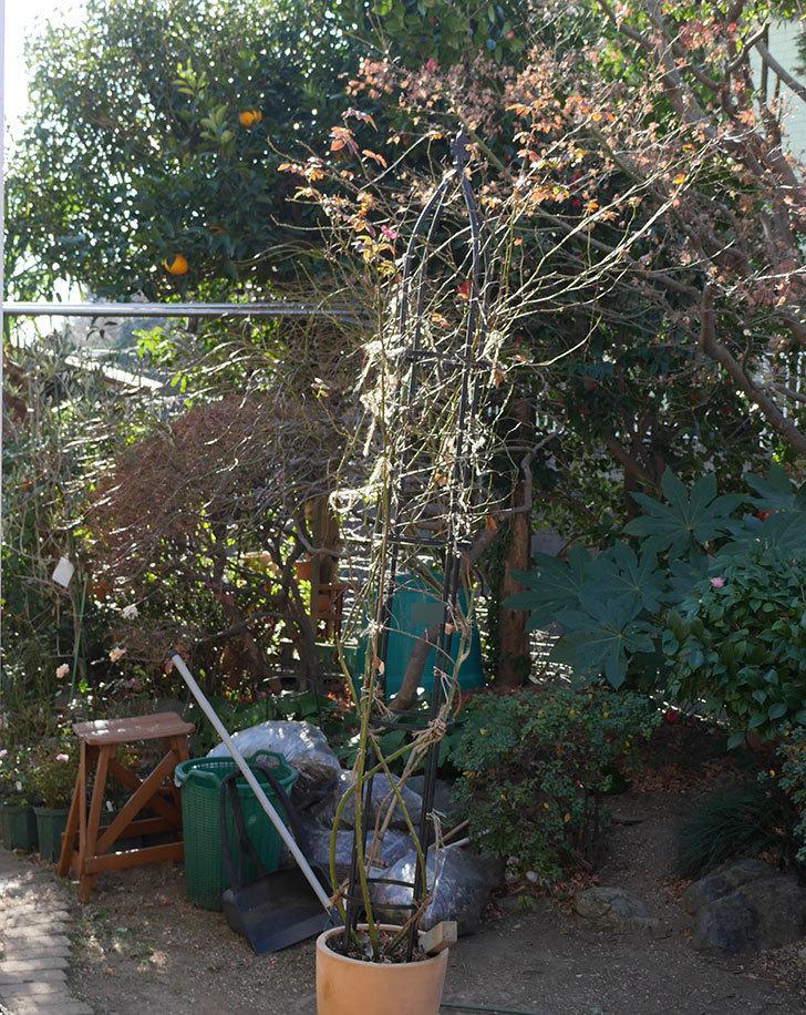 カクテル(ツルバラ)の鉢植えをオベリスクに誘引した。2019年-2.jpg