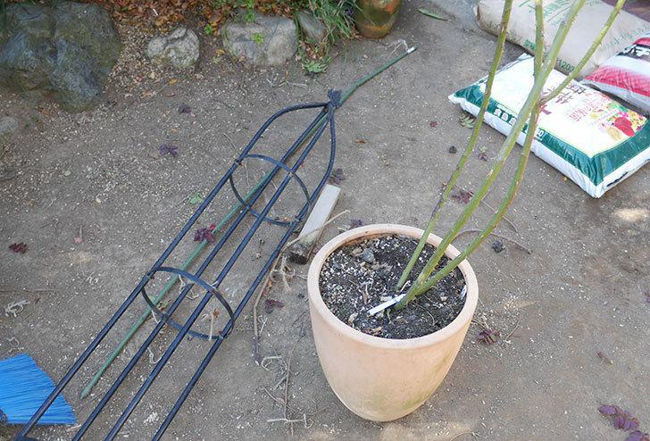 カクテル(ツルバラ)の鉢植えをオベリスクに誘引した。2019年-3.jpg