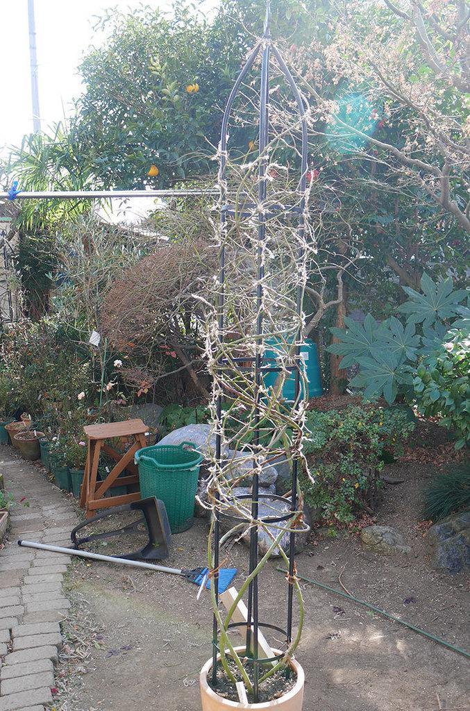 カクテル(ツルバラ)の鉢植えをオベリスクに誘引した。2019年-4.jpg