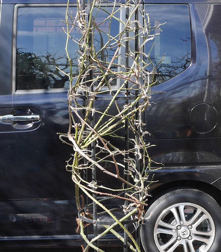 カクテル(ツルバラ)の鉢植えをオベリスクに誘引した。2019年-5.jpg