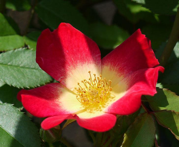 カクテル(ツルバラ)また咲きだした。2017年-2.jpg