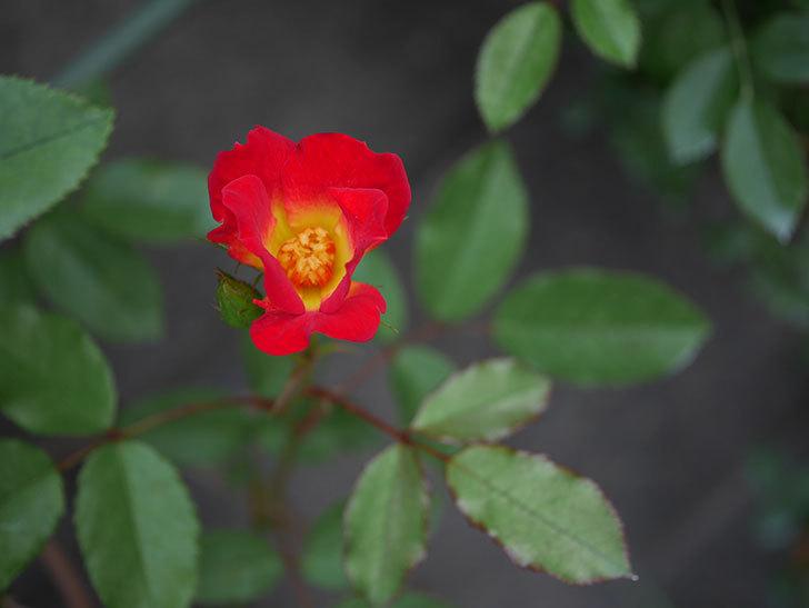 カクテル(半ツルバラ)の2番花が増えて来た。2019年-1.jpg