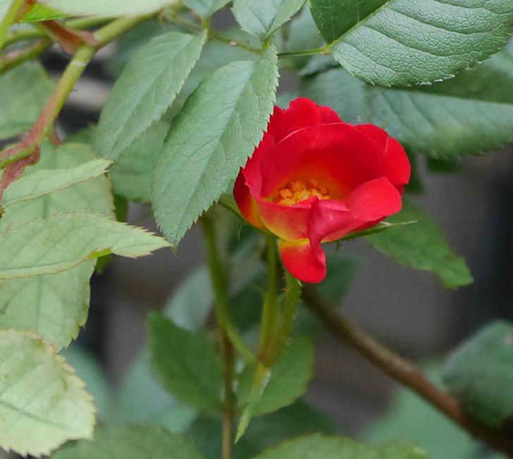 カクテル(半ツルバラ)の2番花が増えて来た。2019年-10.jpg
