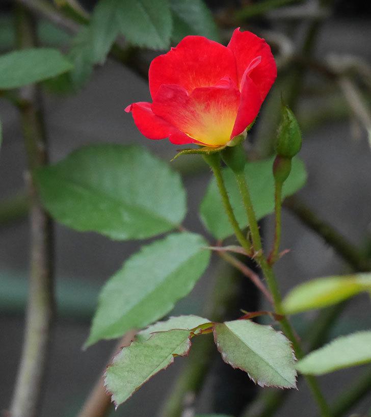 カクテル(半ツルバラ)の2番花が増えて来た。2019年-11.jpg