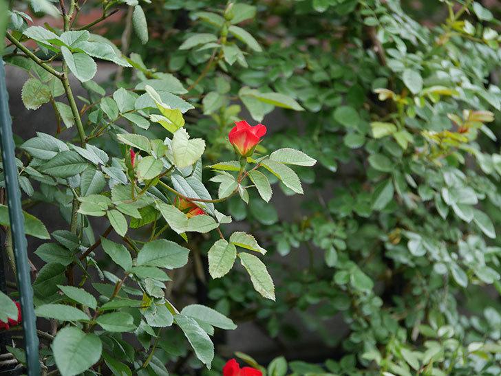 カクテル(半ツルバラ)の2番花が増えて来た。2019年-13.jpg