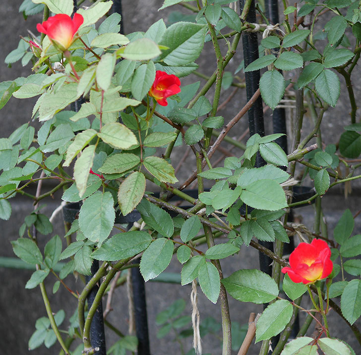 カクテル(半ツルバラ)の2番花が増えて来た。2019年-3.jpg