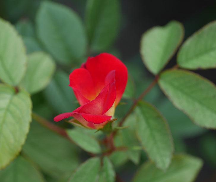 カクテル(半ツルバラ)の2番花が増えて来た。2019年-4.jpg