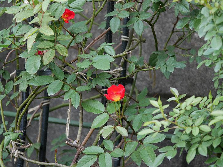 カクテル(半ツルバラ)の2番花が増えて来た。2019年-6.jpg