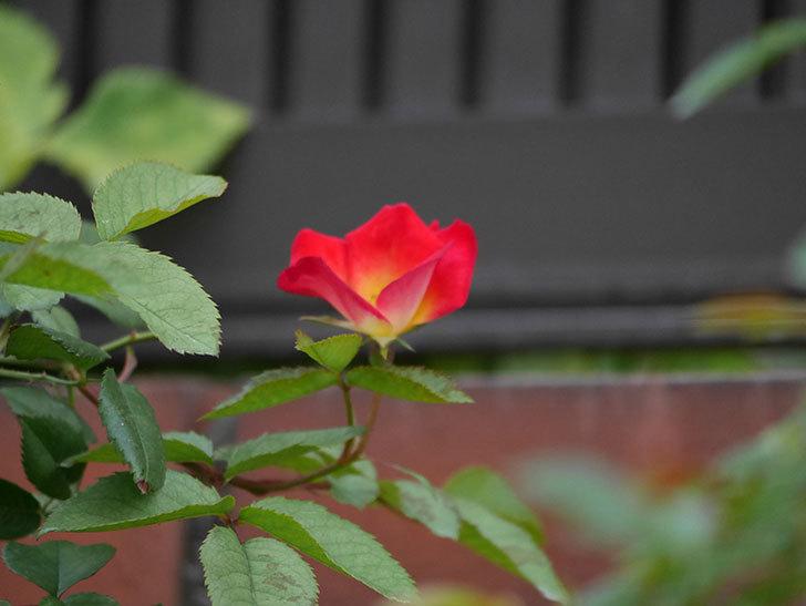 カクテル(半ツルバラ)の2番花が増えて来た。2019年-7.jpg