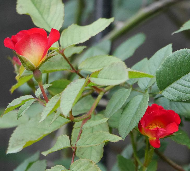 カクテル(半ツルバラ)の2番花が増えて来た。2019年-9.jpg