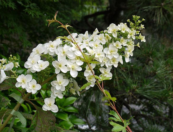 カシワバアジサイが咲いた。2016年-3.jpg