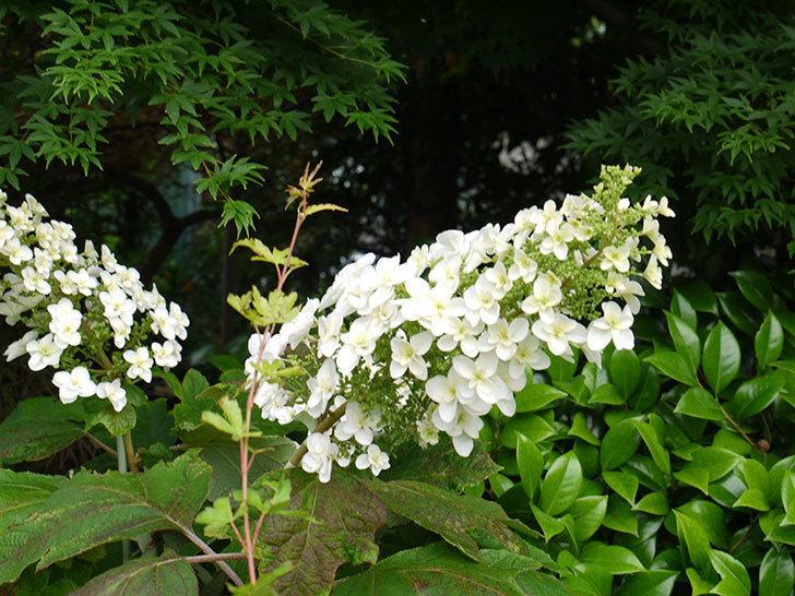 カシワバアジサイが咲いた。2016年-6.jpg