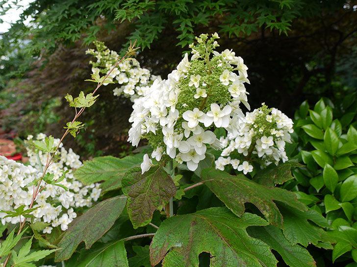 カシワバアジサイが咲いた。2016年-7.jpg