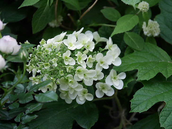 カシワバアジサイの花が咲いた。2020年-001.jpg
