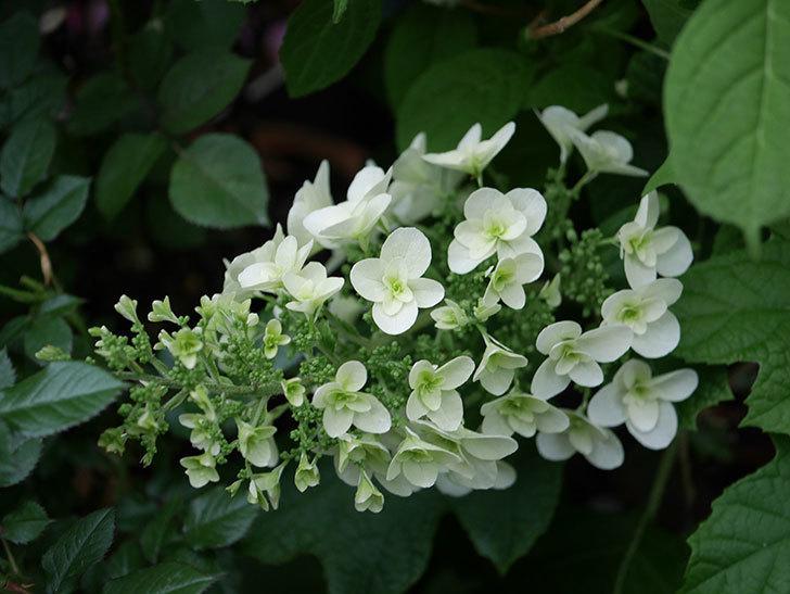 カシワバアジサイの花が咲いた。2020年-003.jpg