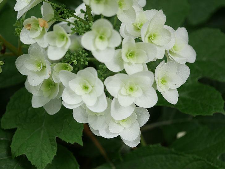 カシワバアジサイの花が咲いた。2021年-003.jpg