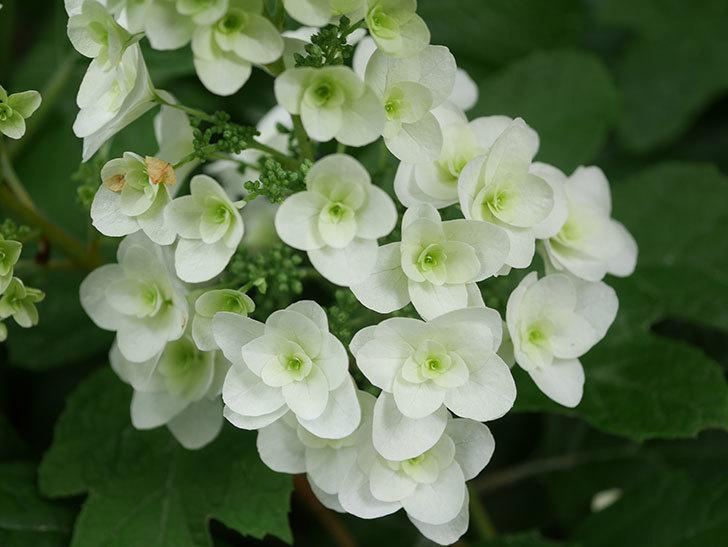 カシワバアジサイの花が咲いた。2021年-004.jpg