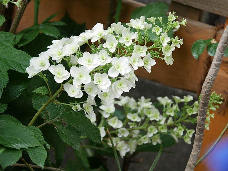 カシワバアジサイの花が咲いた。2021年-006.jpg