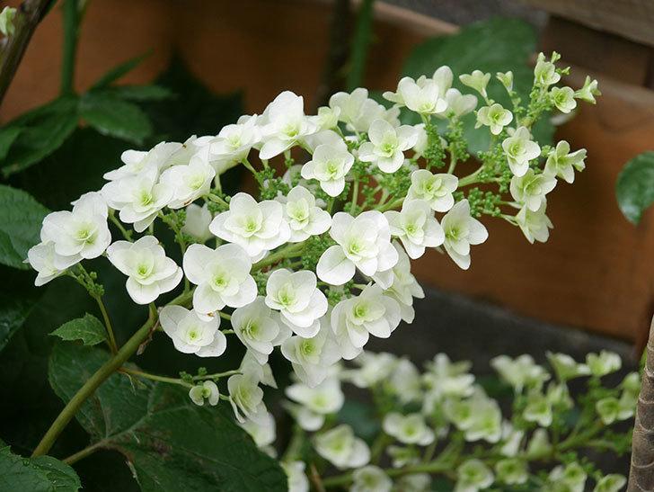 カシワバアジサイの花が咲いた。2021年-007.jpg