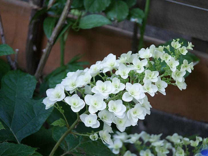 カシワバアジサイの花が咲いた。2021年-011.jpg