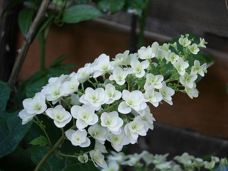 カシワバアジサイの花が咲いた。2021年-012.jpg