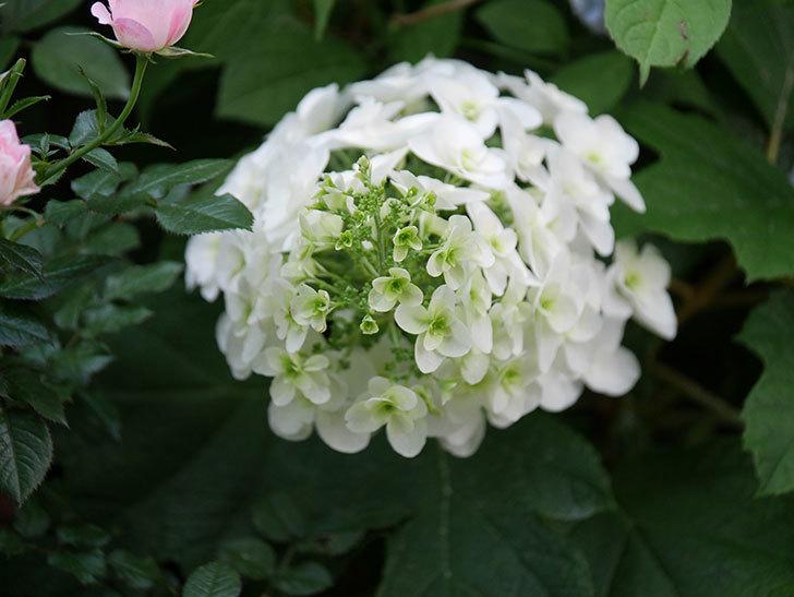 カシワバアジサイの花が増えてきた。2020年-001.jpg