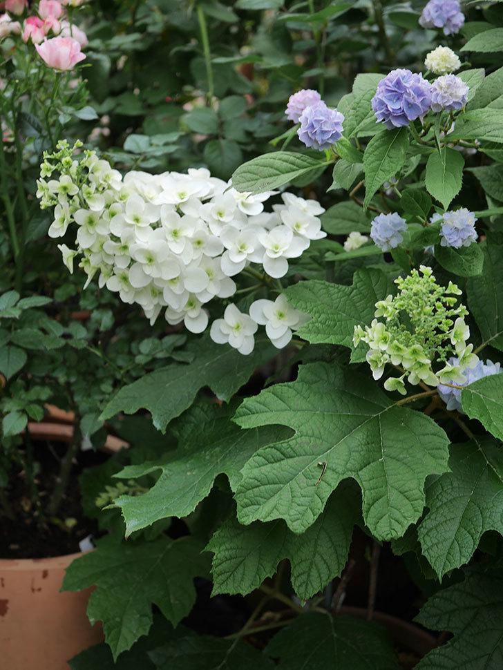 カシワバアジサイの花が増えてきた。2020年-003.jpg