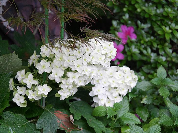 カシワバアジサイの花が綺麗に咲いた。2020年-001.jpg